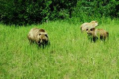 Grizzly-Familie