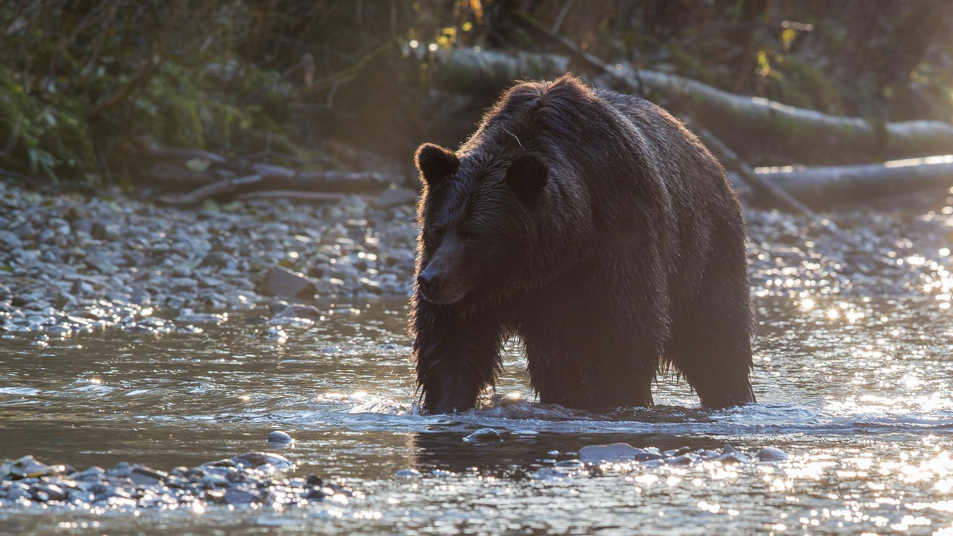 Grizzly im Anmarsch