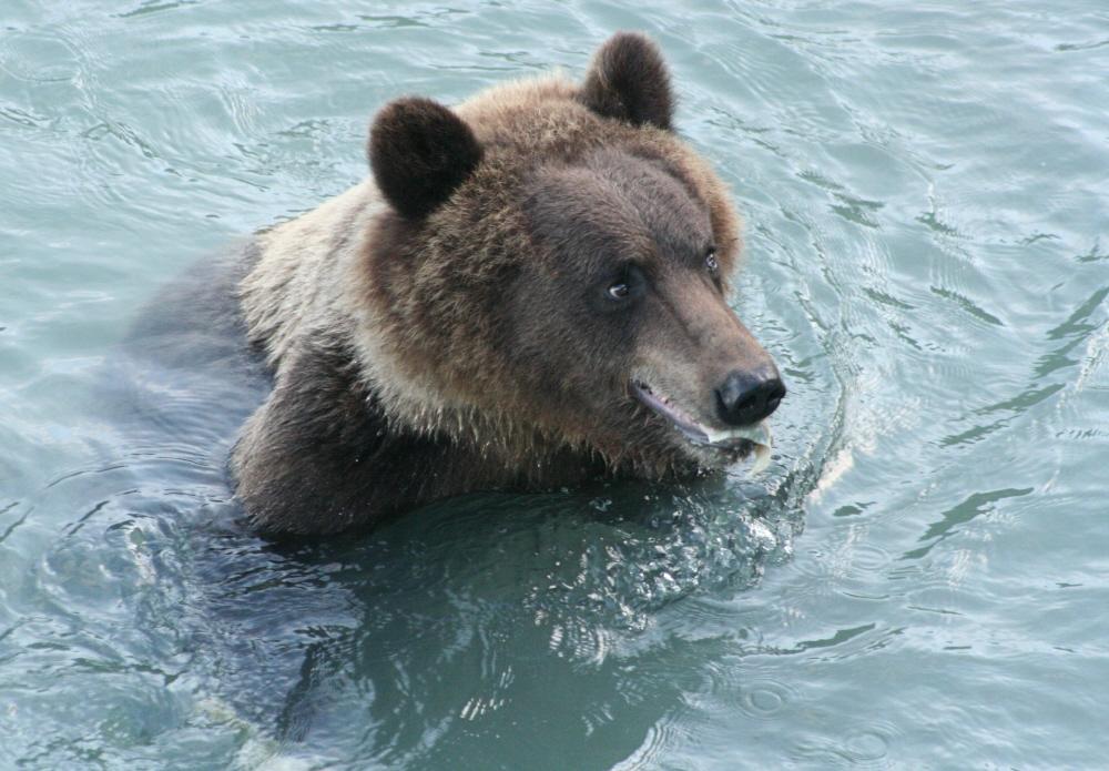 Grizzly mit erbeutetem Lachs