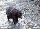 Grizzly (Ursus arctos) (4)