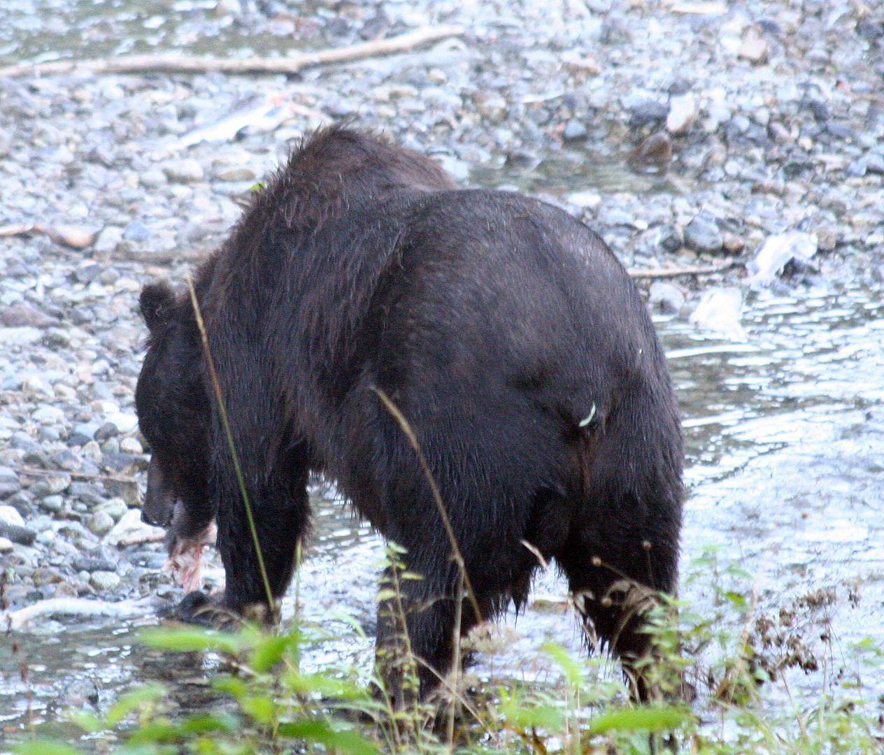 Grizzly (Ursus arctos) (7)