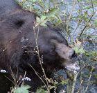 Grizzly (Ursus arctos) (8)