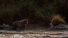 Grizzlydame im Gegenlicht