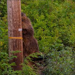 grizzlys schuppern sich meist an bäumen . . . .