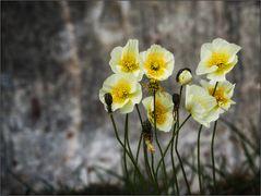 Grönländisches Mittwochsblümchen