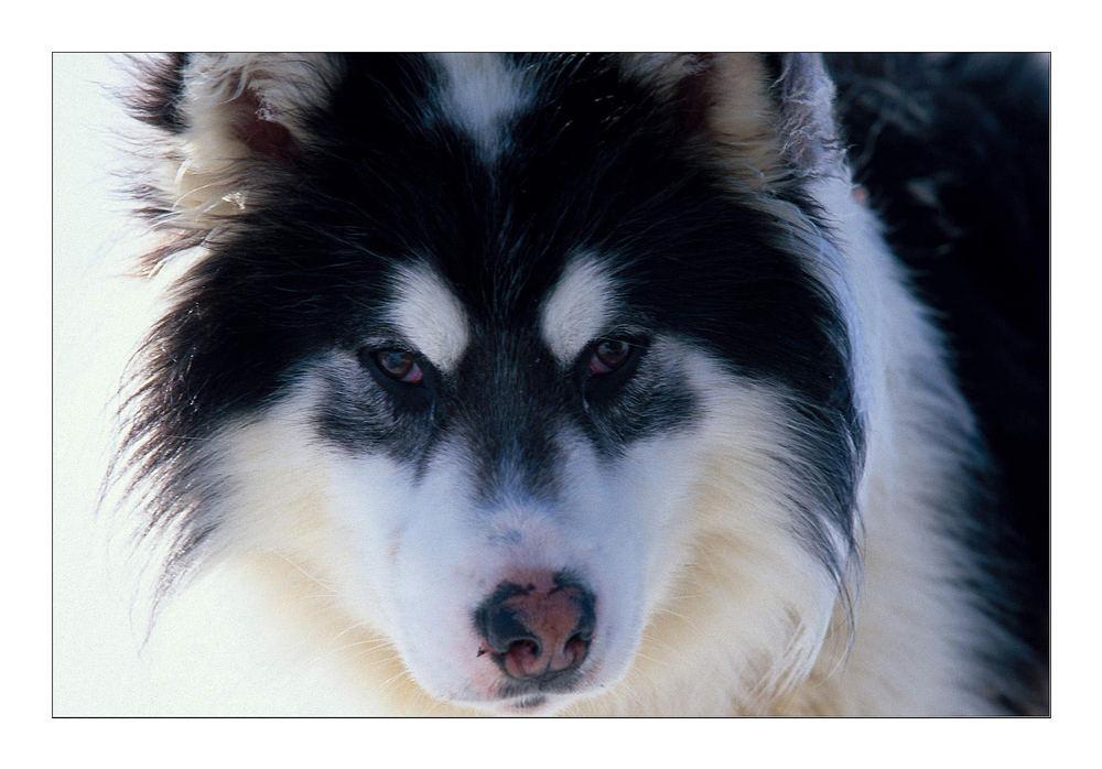 Grönlandhund