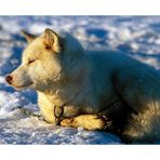 Grönlandischer Schlittenhund