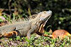 gros iguane
