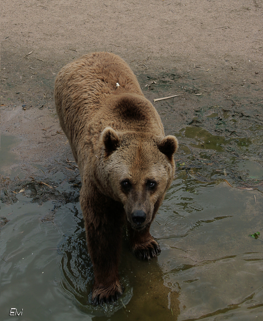 Gros nounours photo et image animaux zoo et animaux - Gros nounourse ...