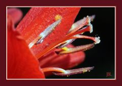 Gros plan d'une fleur de crocosmia