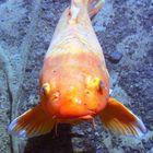Gros poisson rouge