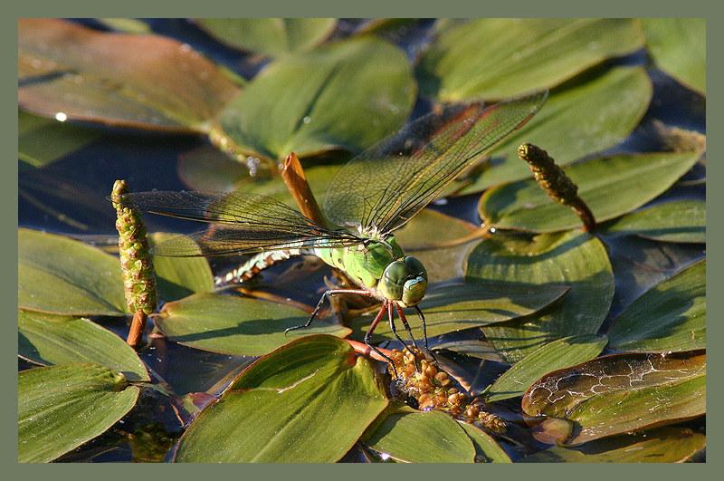 Groß, Edel oder Segel Libelle - keine Ahnung