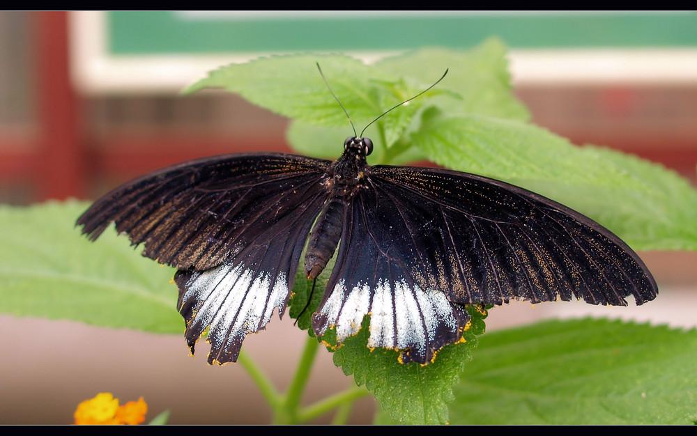 Groß Flügelig...