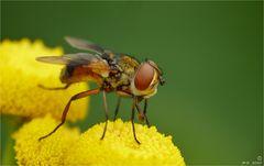 Groß waren die Augen dieser kleinen Fliege.