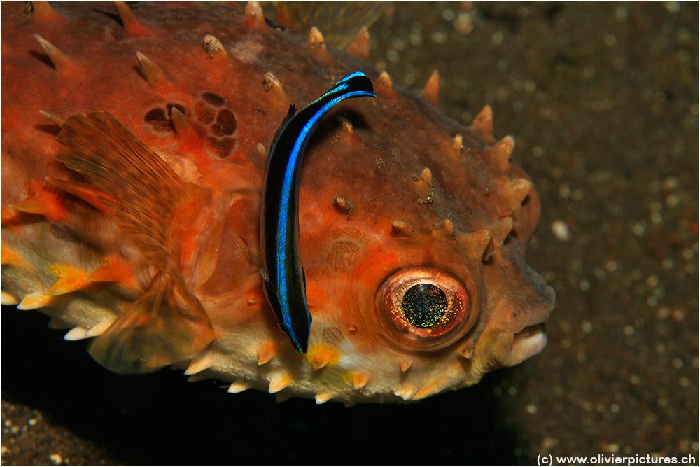 Grossaugen Igelfisch