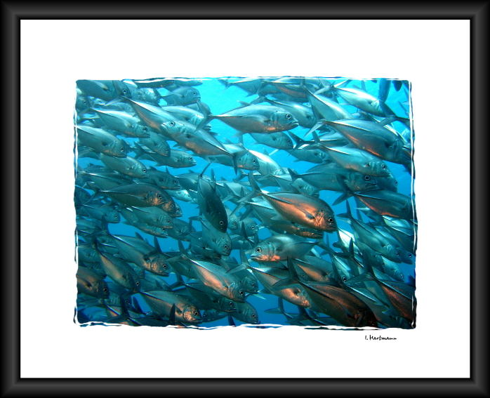 Großaugen Makrelenschwarm - caranx latus