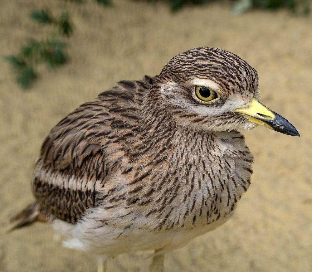 großaugenvogel