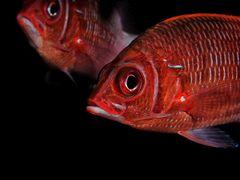 Großdorn-Husarenfisch