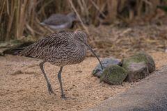 Große Brachvogel (Numenius arquata)