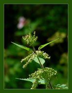 Große Brennnessel (Urtica dioica)