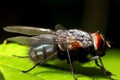 Große Fliege