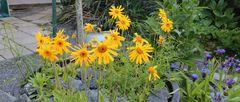 Große Fortschritte bei den Blüten von Arnica montana