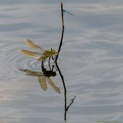 Große Königslibelle (Anax imperator) bei der Eiablage