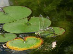 Grosse Königslibelle - Weibchen