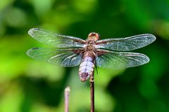 Große Libelle