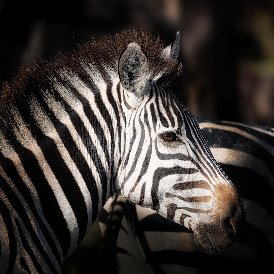 Große Migration, Serengeti 2017