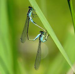 Große Pechlibelle (Ischnura elegans), Paarungsrad (1)