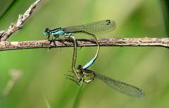 Große Pechlibelle (Ischnura elegans), Paarungsrad (2)