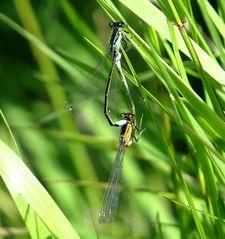 Große Pechlibelle (Ischnura elegans), Paarungsrad (3)