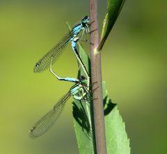 Große Pechlibelle (Ischnura elegans), Paarungsrad (4)
