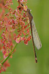 Große Pechlibelle  -  junges Weibchen