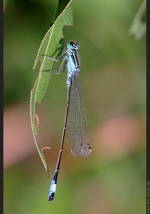 Große Pechlibelle (Männchen)