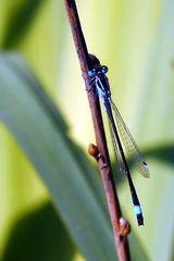 Große Pechlibelle (männlich)