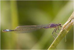 Große Pechlibelle, Weibchen