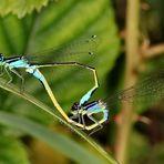 Große Pechlibellen - Paarung