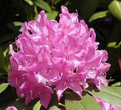große pink Rhododendronblüte in Sonne