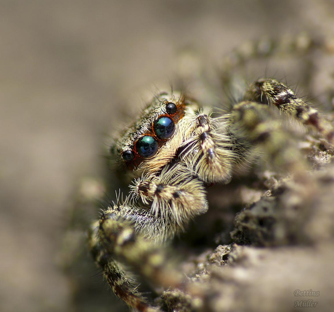 Große Rindenspringspinne (Marpissa muscosa) Weibchen