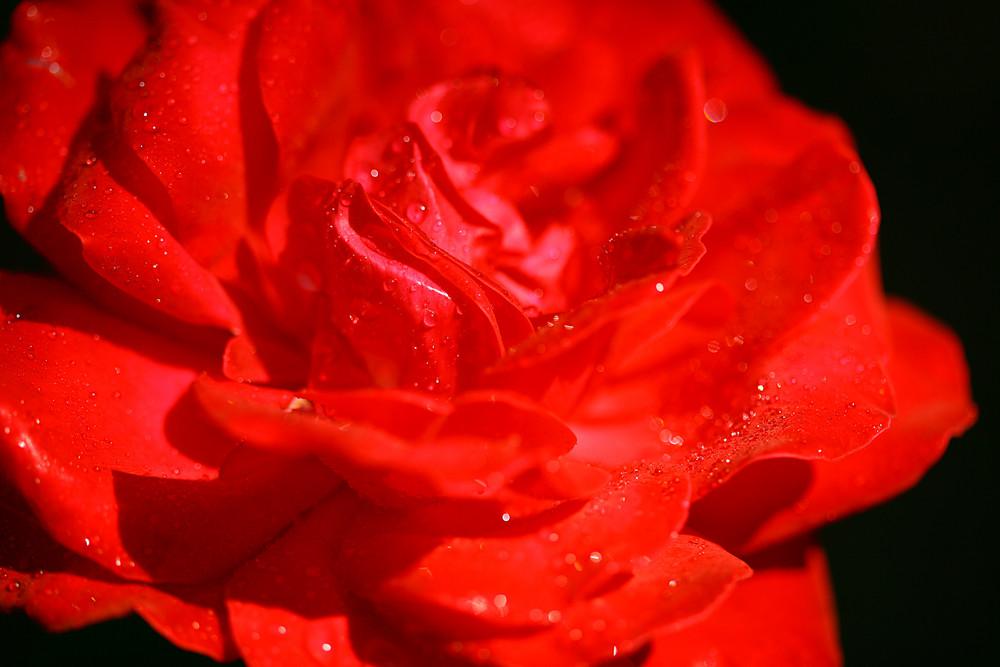 grosse rose rouge