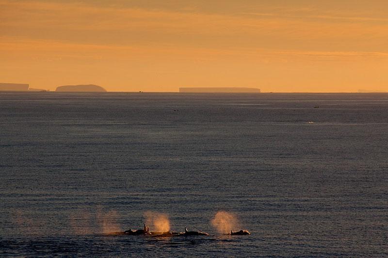 Große Schwertwale, Orca whales, East Antarctic