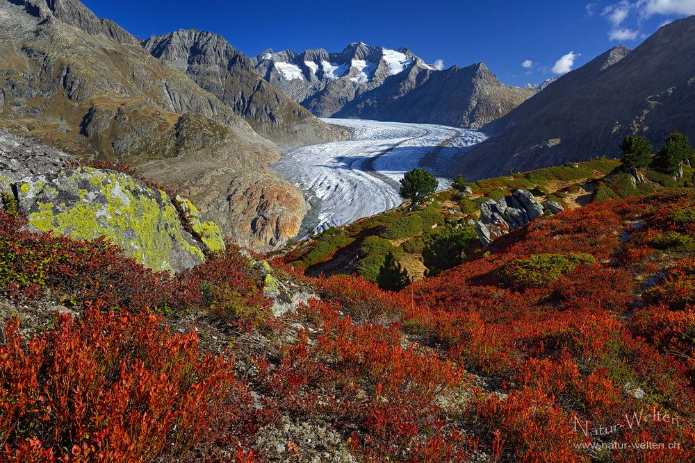 Grosser Aletschgletscher im Herbstkleid