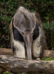 Grosser Ameisenbär-Zoo-ZH