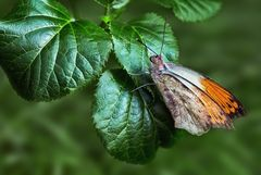 Grosser Aurorafalter (Hebomoia Glaucippe)