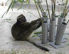 Großer Bambuslemur