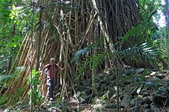 Großer Banyan Baum Malekula Island