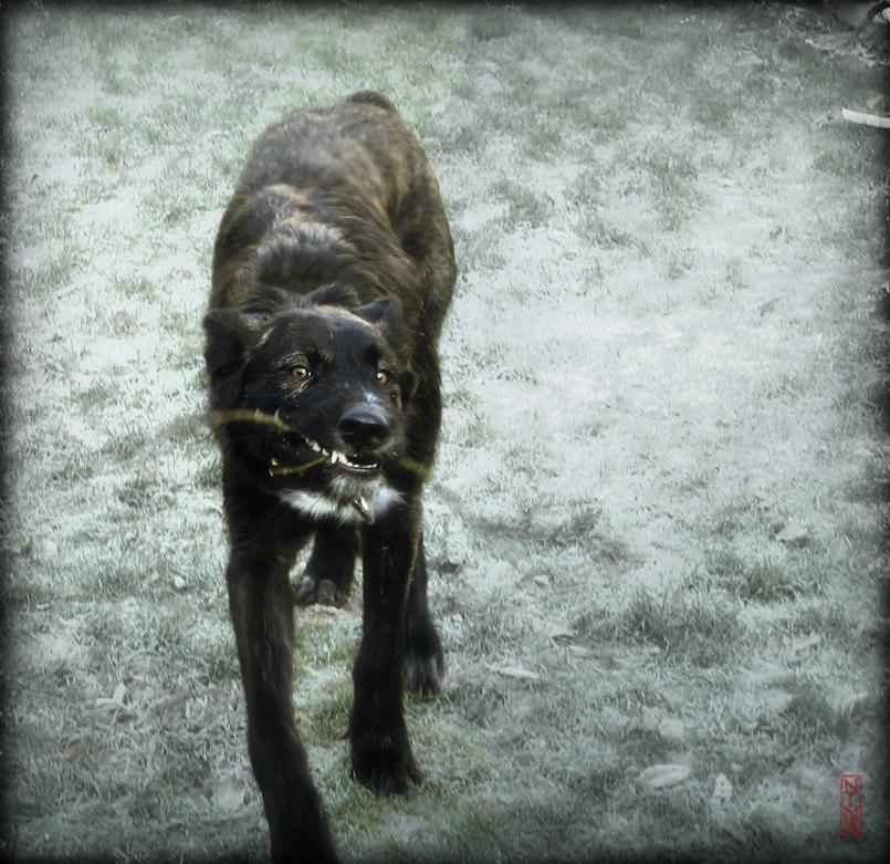 großer böser schwarzer hund