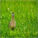 Großer Brachvogel beobachtet Fotografen...!